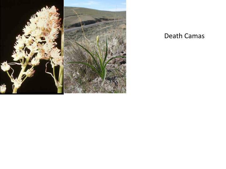 Death Camas