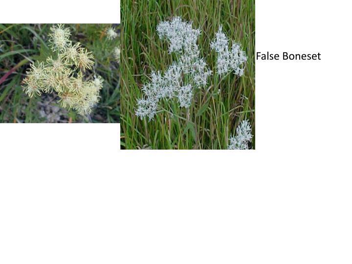 False Boneset