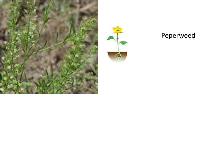 Peperweed