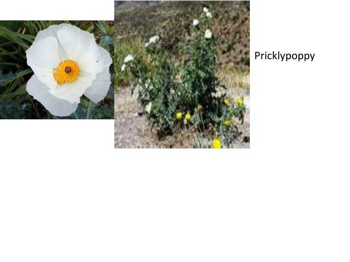 Pricklypoppy