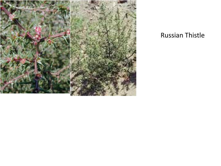 Russian Thistle