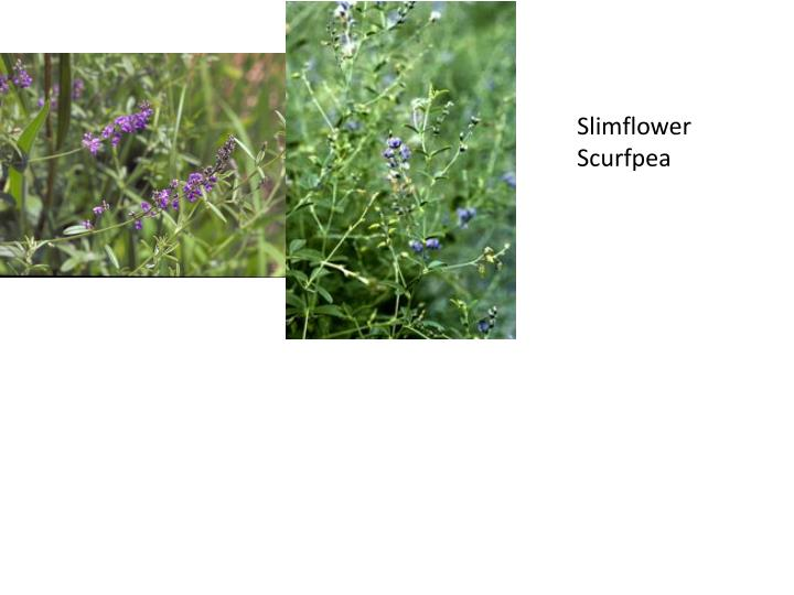 Slimflower