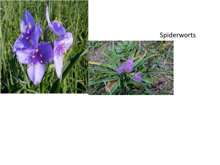 Spiderworts