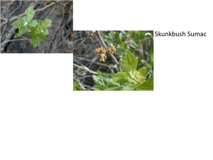 Skunkbush