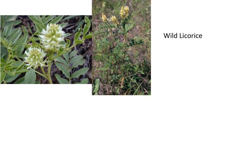 Wild Licorice