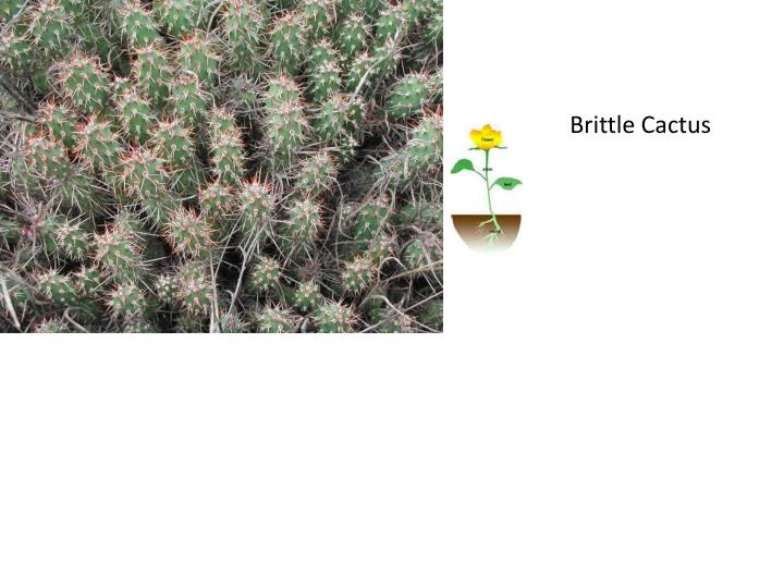 Brittle Cactus