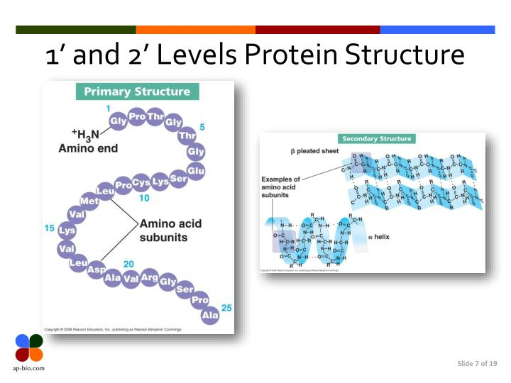 1' and 2' Levels Protein Structure