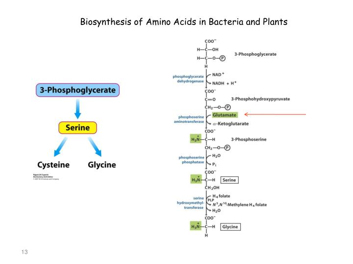 Biosynthesis of Amino Acids in Bacteria and Plants