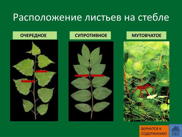 Расположение листьев на стебле