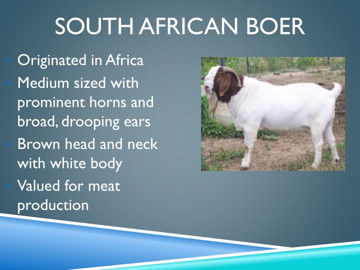 South African Boer