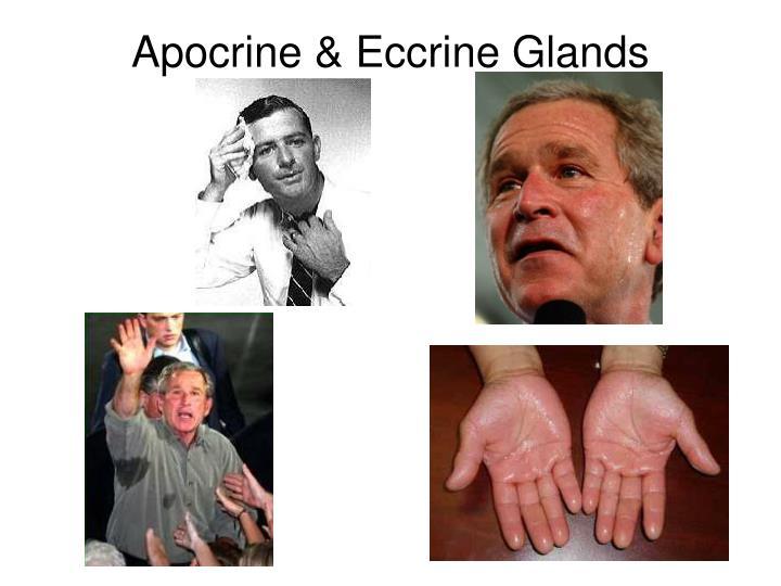 Apocrine & Eccrine Glands