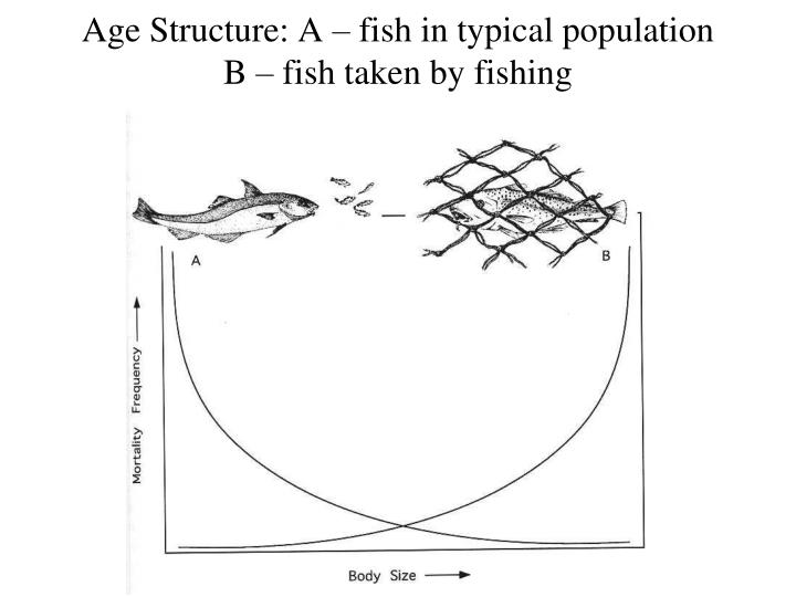 Age Structure: A – fish in typical population