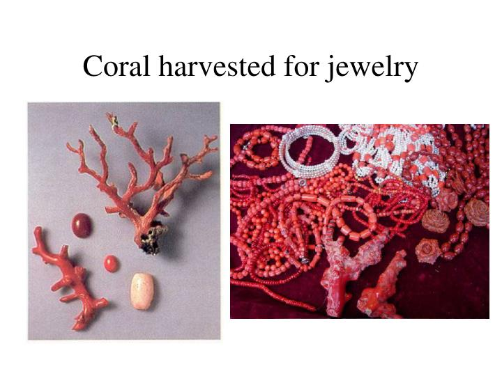 Coral harvested for jewelry