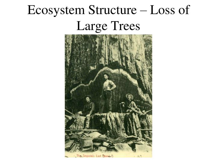 Ecosystem Structure – Loss of Large Trees