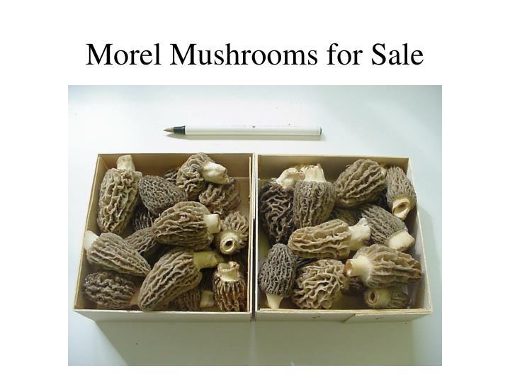 Morel Mushrooms for Sale