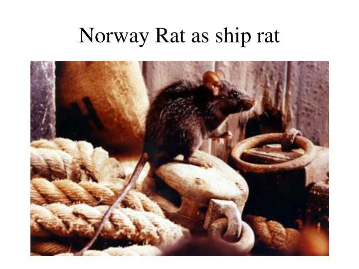 Norway Rat as ship rat