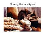 norway rat as ship rat