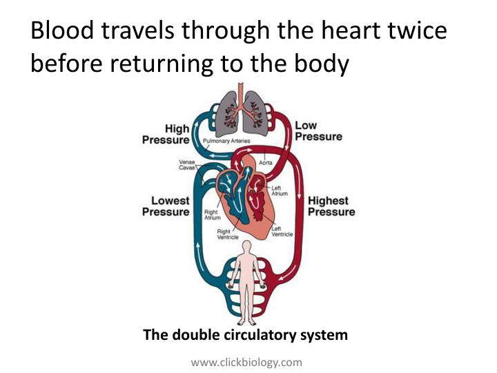 Blood travels through the heart twice before returning to the body