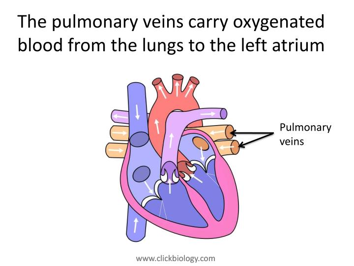 The pulmonary veins carry oxygenated blood from the lungs to the left atrium