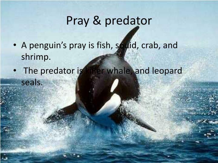 Pray & predator
