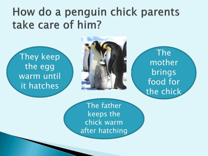 How do a penguin chick parents take care of him?