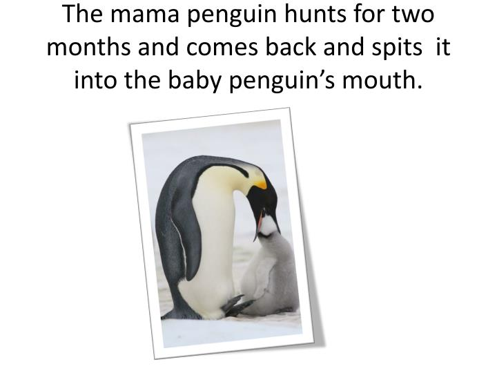 The mama penguin hunts for two months and comes back and spits  it into the baby penguin's mouth.