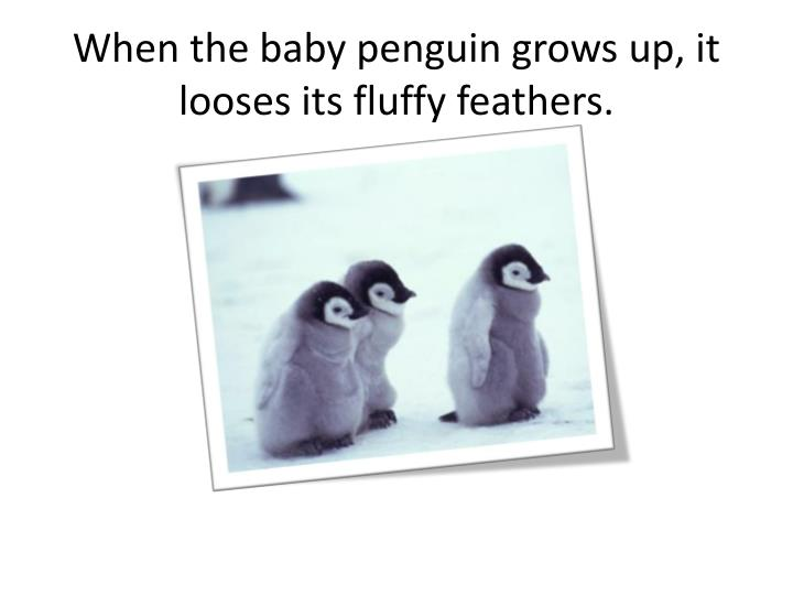 When the baby penguin grows up, it looses its fluffy feathers.