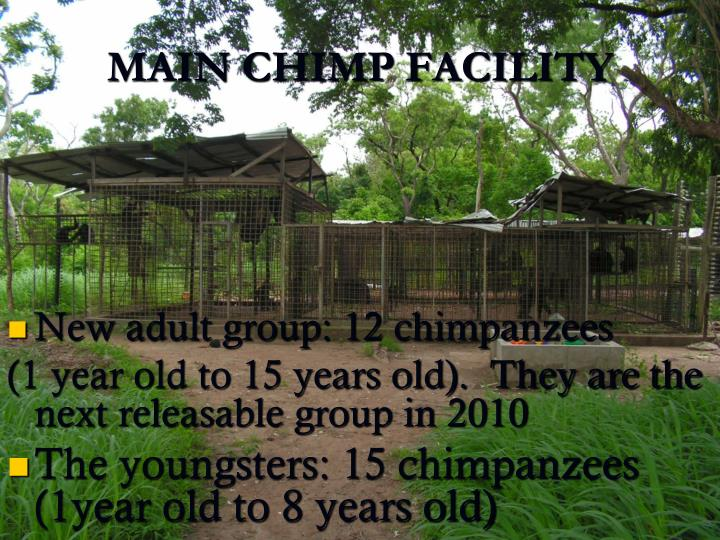 New adult group: 12 chimpanzees