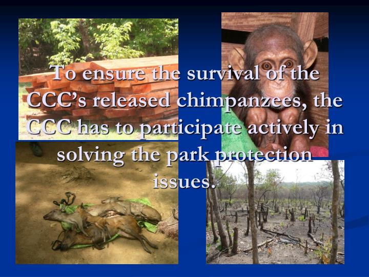 To ensure the survival of the CCC's released chimpanzees, the CCC has to participate actively in solving the park protection issues.