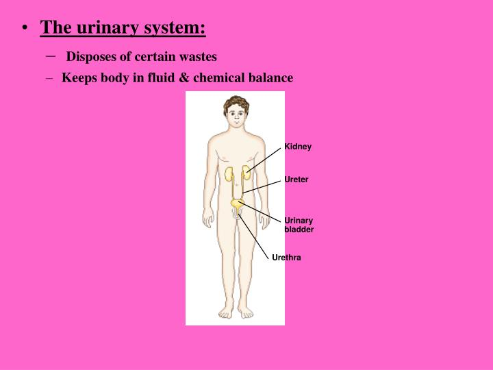 The urinary system: