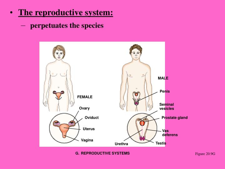 The reproductive system: