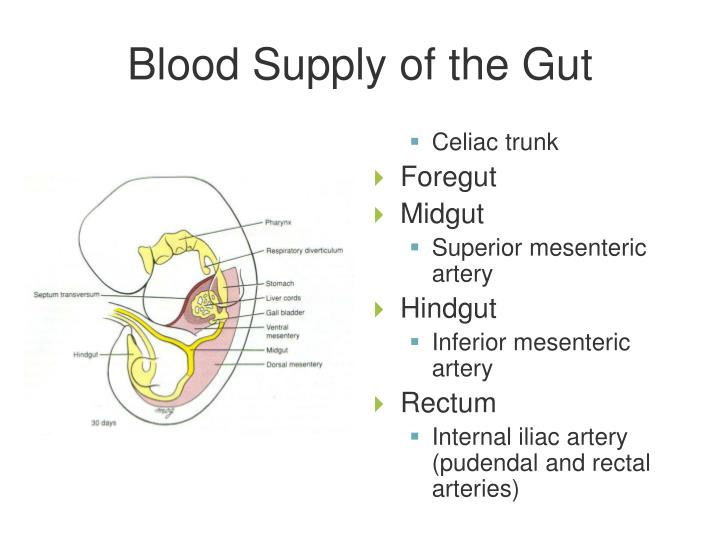 Blood Supply of the Gut