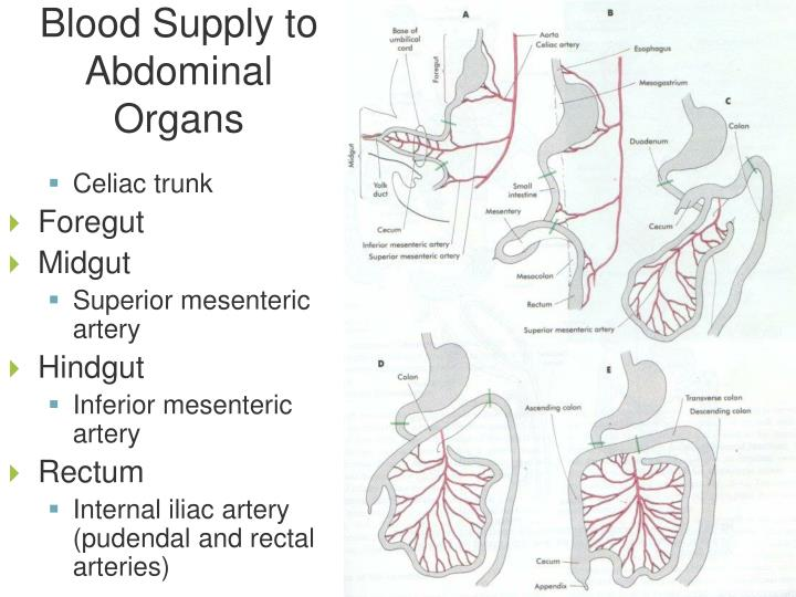 Blood Supply to Abdominal Organs