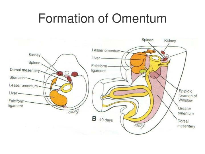 Formation of Omentum