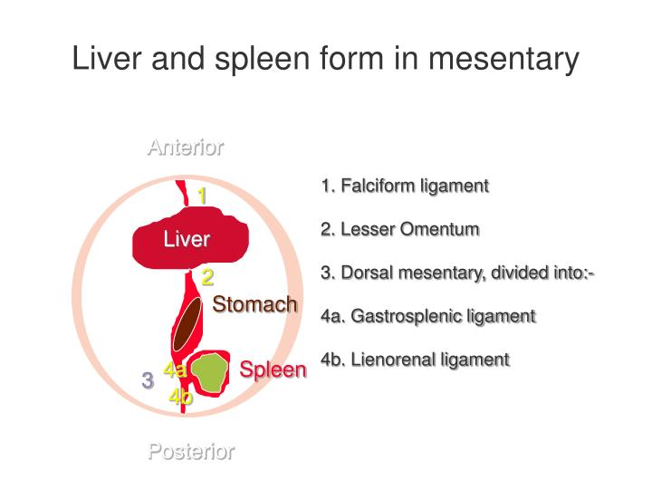 Liver and spleen form in mesentary