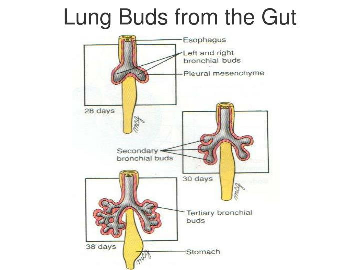 Lung Buds from the Gut