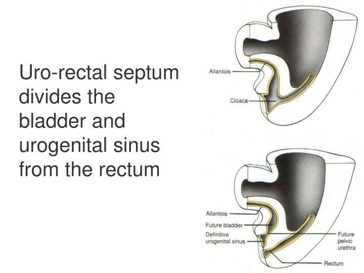 Uro-rectal septum divides the bladder and urogenital sinus from the rectum