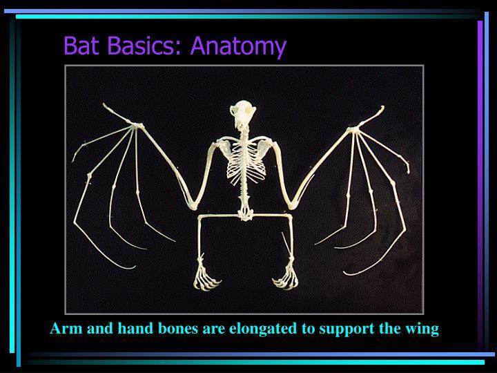 Bat Basics: Anatomy