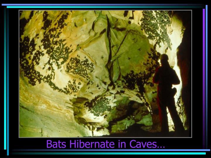 Bats Hibernate in Caves…