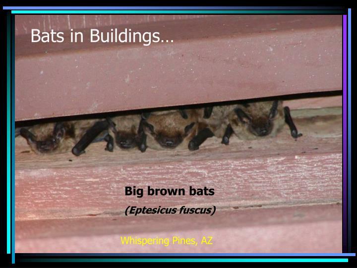 Bats in Buildings…