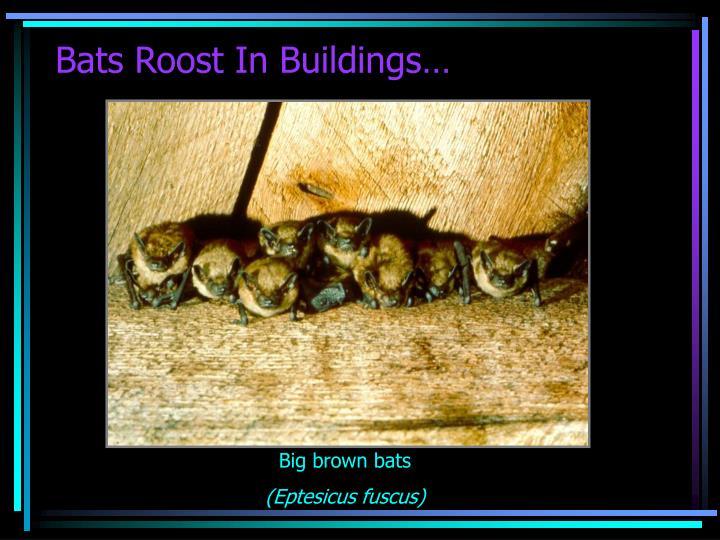 Bats Roost In Buildings…