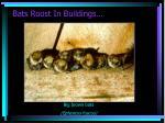 bats roost in buildings