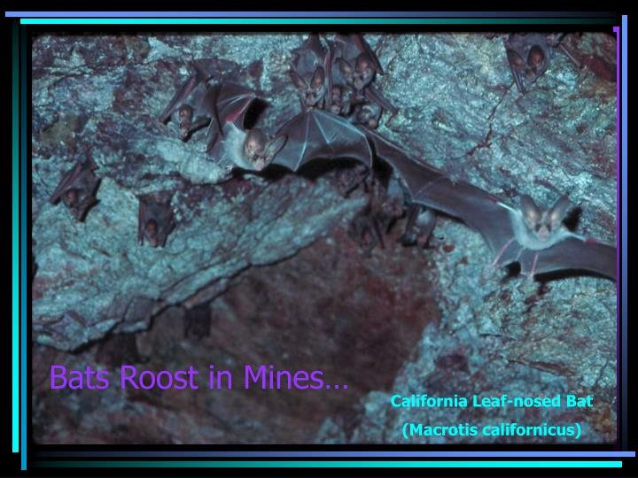 Bats Roost in Mines…