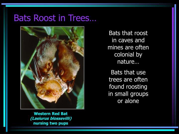 Bats Roost in Trees…