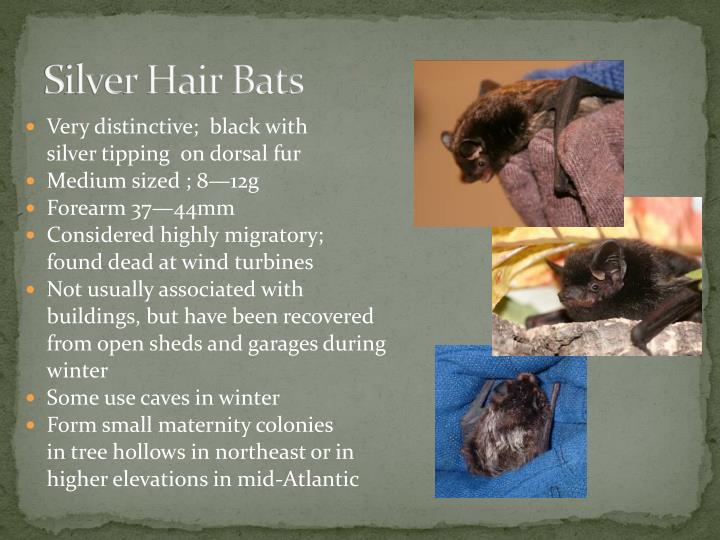 Silver Hair Bats