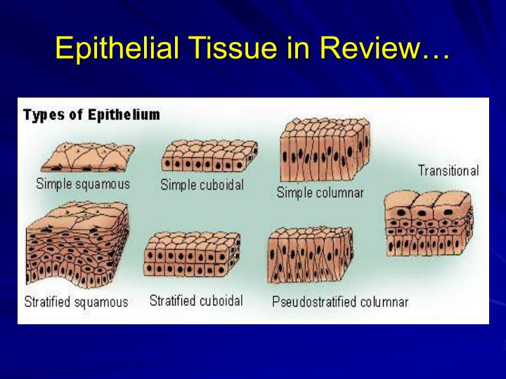 Epithelial Tissue in Review…