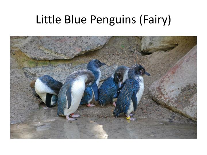 Little Blue Penguins (Fairy)