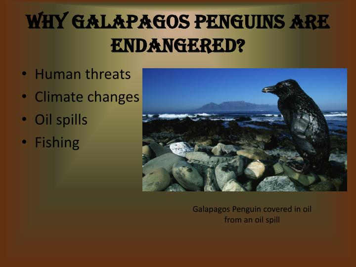 Why Galapagos Penguins Are Endangered?