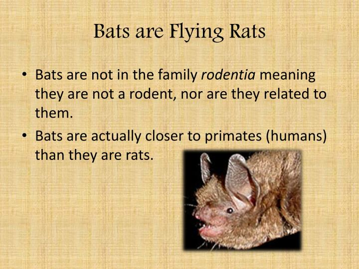 Bats are Flying Rats