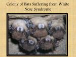 colony of bats suffering from white nose syndrome